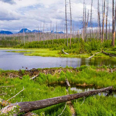 A beaver dam on Howe Lake in Glacier National Park in Montana