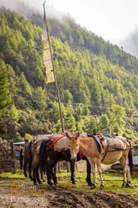 horse bhutan shana supplies trail pray flag