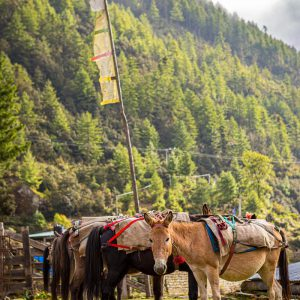 Horses waiting to carry supplies at a trailhead in Shana, Bhutan