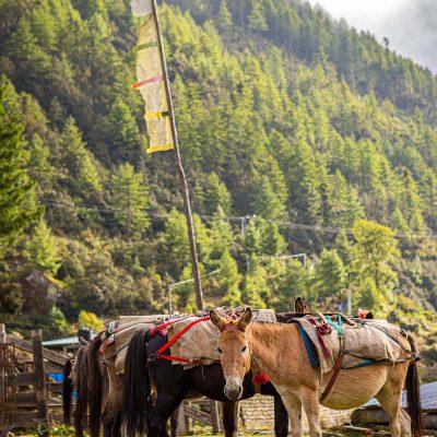 Horses waiting to carry supplies at a trailhead in Shana, Bhutan