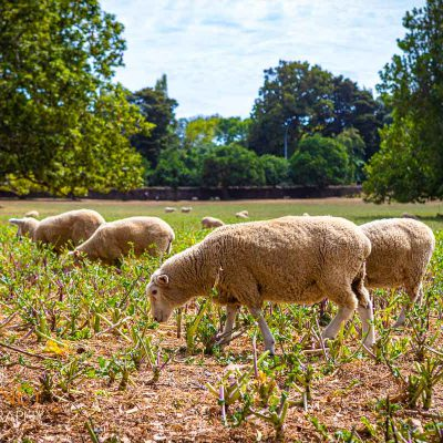 Flock of sheep grazing in Cornwall Park on a sunny day in Auckland, New Zealand