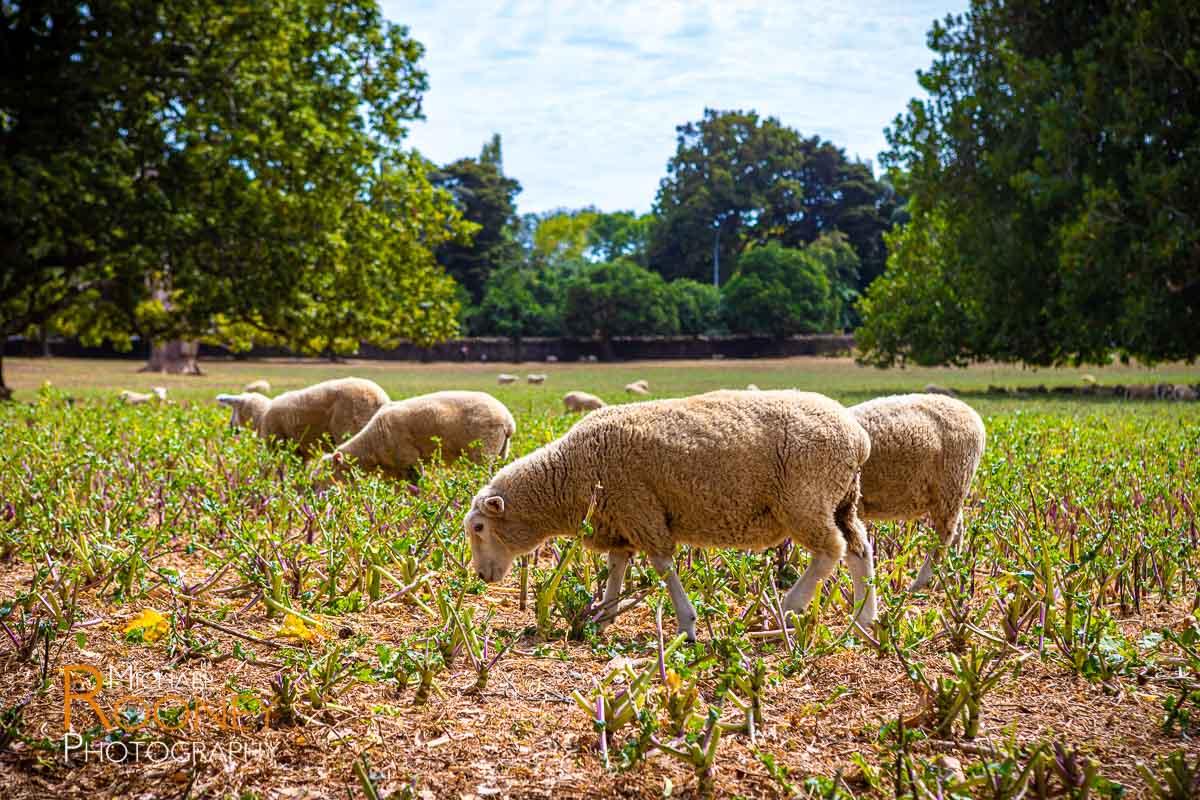 sheep grazing cornwall park auckland new zealand